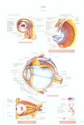 Schemas de travaux pratiques d'anatomie ; planches d'anatomie t.19 ; l'oeil - Intérieur - Format classique